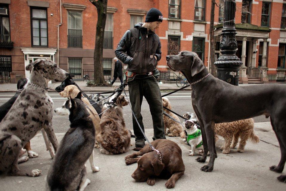 イヌの散歩アルバイト、ハーバード並みの難関 NYでの合格率は5%を下回る #犬 #イヌ #dog