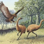 Large ancient flightless birds from Australia, Europe and North America found to be related