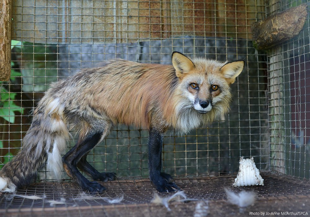 BREAKING NEWS: Luxury fashion company @gucci has announced it's going fur-free! ���� Details: https://t.co/phvQnCfFHU https://t.co/cb4zJYWTmc
