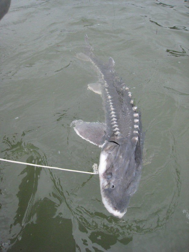 Sturgeon retention season set for Columbia River near Portland