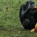 WATCH: Detroit Zoo animals play with pumpkins