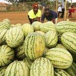 Lack of market leaves farmers counting losses despite bumper harvest