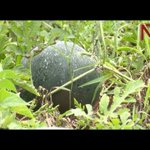 On The Farm: Why one farmer prefers the black melon variety