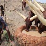 Herders Decry Resistant Ticks