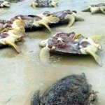 Sabah Wildlife arrest a person in killing turtles on Pulau Bum-Bum