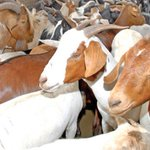 How to take care of livestock during rainy season