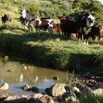 Unfenced streams major source of water contamination