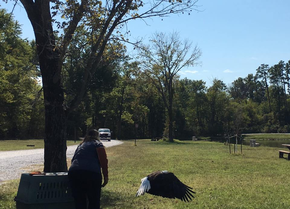 Injured bald eagle found by Illinois state representativereleased