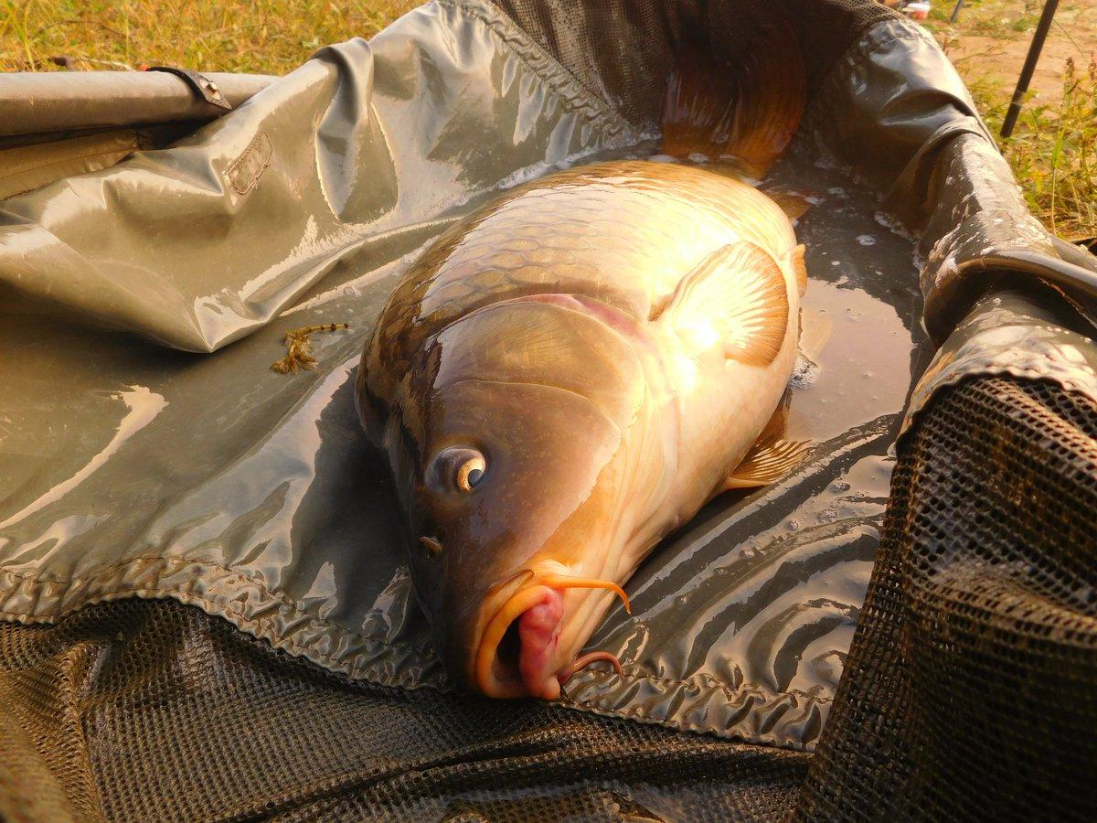 #lovefishing #catchandreleas #<b>Mirrorcarp</b> #fishing #carpfishing #carp  #borovik #carpangler #n