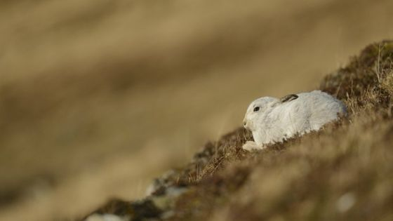 Mountain hare facing 'local extinction' despite promises