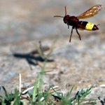 Japanese woman dies after 150 giant hornet stings