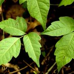 Poison ivy on steroids: Another side of climate change