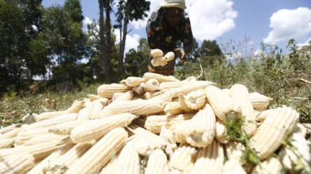 How small-scale maize farmers lose to middle-men