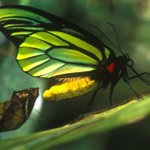 Swallowtail butterfly could benefit from Papua New Guinea project