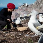 'Bold' conservation move to halt the decline of Australia's shy albatross