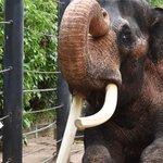 Melbourne Zoo's bull elephant Bong Su dies
