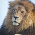 Kamo big cat park euthanises Zion the lion