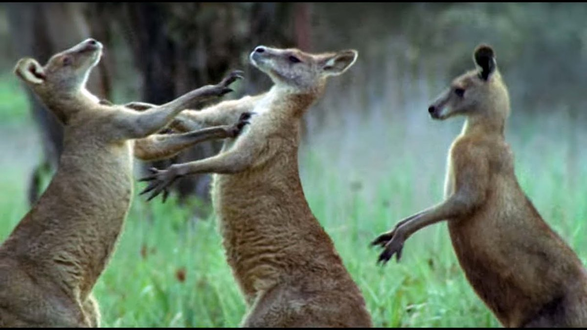 Kangaroos Fight For A Mate - Life Of Mammals - BBC Earth