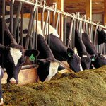Animal feeds manufacturers to import yellow maize duty free