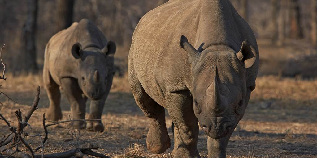 African Rhino Injures Poacher in Rare Reversal of Fortunes