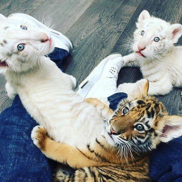 RT @AndreiAndrei63: Cute cubs tiger. https://t.co/e5bj1nBHqo