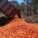 Tomato waste at rotten levels as up to 84pc of crops  left in field