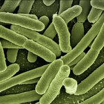 Model predicts how E. coli bacteria adapt under stress
