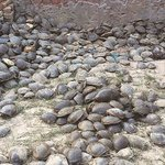 Forest department drive to protect Olive Ridley seaturtles