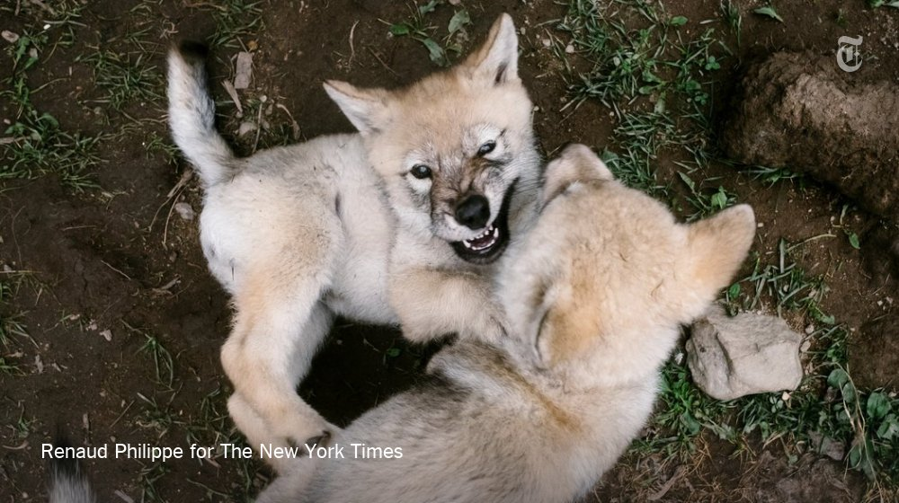 Yes, these wolf puppies are adorable. No, you should not adopt one. https://t.co/tahigqueoI https://t.co/RGTUL9ugbv