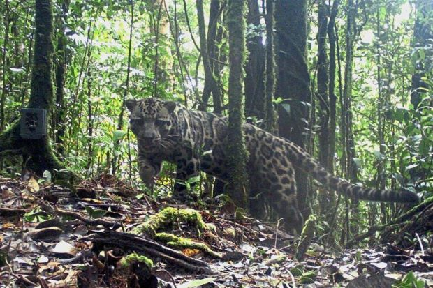 Fewer than 800 Sunda clouded leopards in Sabah - Nation