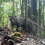 Fewer than 800 Sunda clouded leopards in Sabah - Nation
