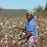 Chiredzi cotton farmers start receiving inputs   The