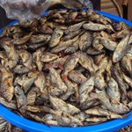 Public health officers destroy fish consignment