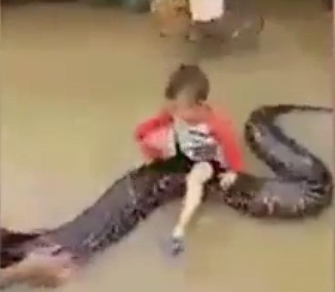 Video: Un niño de tres años se sube a lomos de una pitón de seis metros en Vietnam