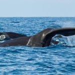 Big and brilliant: complex whale behavior tied to brain size