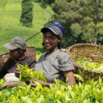 Tea farmers to pay more for fertilizer