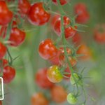 Leamington greenhouse tomatoes: sweet and tasty agricultural innovation | We Are The Best