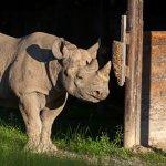 Famous black rhino Eliska dies in Mkomazi