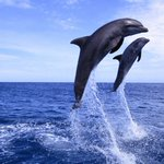 Whales And Dolphins Developed Their Big Brains By Living Like Humans