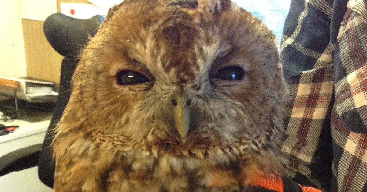 Tony the tawny owl was badly injured during Storm Ophelia - but then Network Rail staff came to the rescue