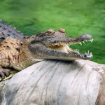 Freshwater crocodile attacks tourist at Wangi Falls, leaving him with wounds to leg and hand