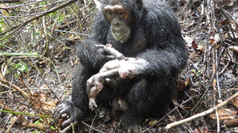 Infant Chimp Snatched and Cannibalized Moments After Its Birth