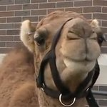 Camel provides hump day happiness at Wednesday wedding