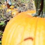 Pumpkin Picking: Wet summer weather hurt crop yields in Midstate