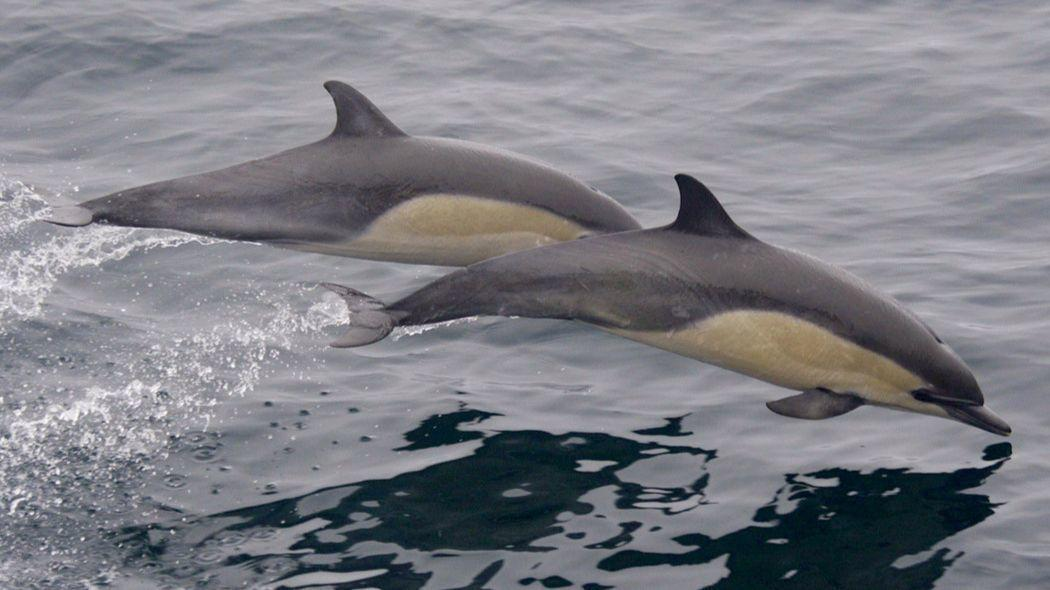 Dolphin diets show how climate change could alter food chains off the California coast