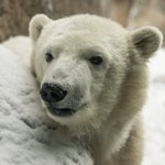 Project Nora: How you can help polar bears and fight climate change