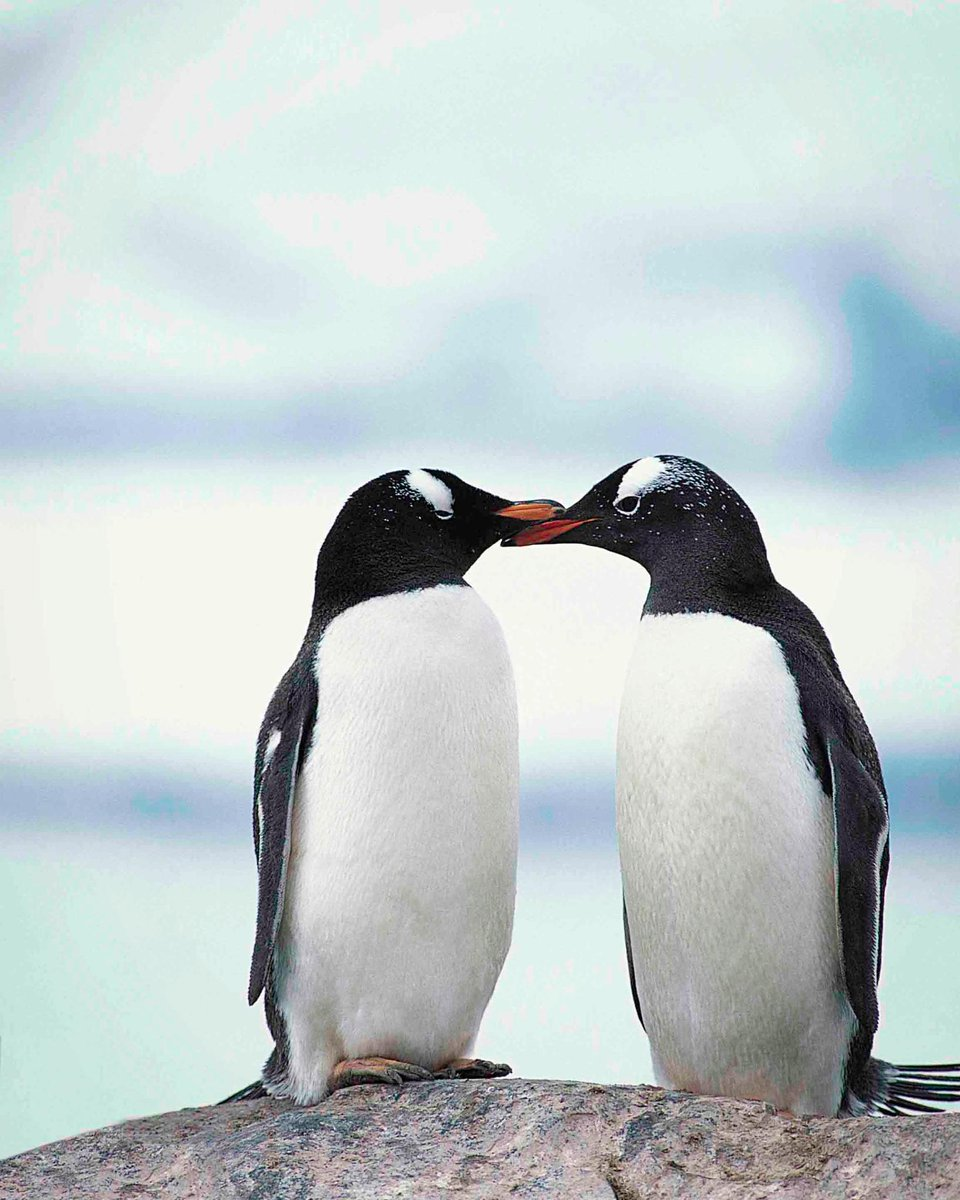 Photo of the Day Penguins have often been caught touching beaks as an act of affection.