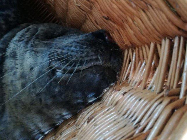 Zieke zeehond aangespoeld bij de Zandmotor https://t.co/ww2rx5wBMO https://t.co/fpVYGS9QK4