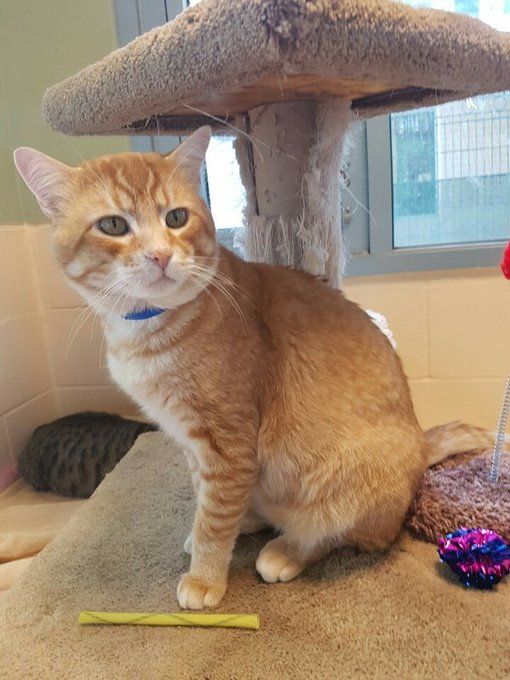RT @AdoptMeSanJose: Adoptable #cat #Ollie_SNJSCA_15 Loves cat trees and playing with toys!  https://t.co/yQGwLm1Wb7 https://t.co/zfSZv6Uwaq