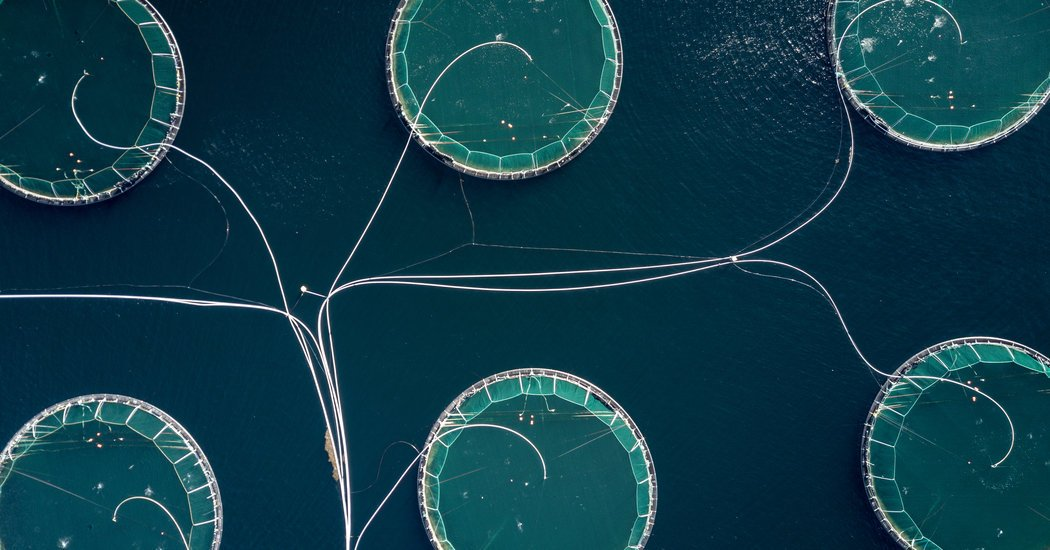 As Wild Salmon Decline, Norway Pressures Its Giant Fish Farms